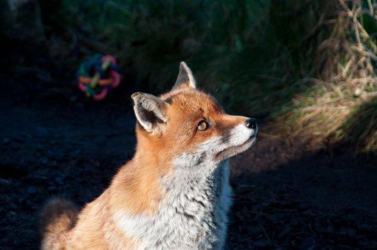 Ayside, UK: A fox