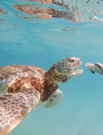 Sea Turtles at Little Farmer's Cay