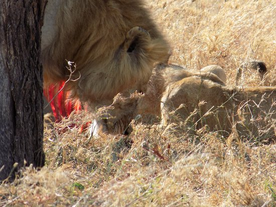Serengeti National Park, Tanzania: The king is busy too