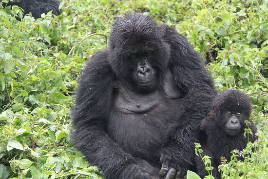 Baby mountain gorilla and its mother in Bwindi impenetrable national park in Uganda. The park is one of the 4 mountain gorilla trekking destinations.  Learn more at www.manyaafricatours.com