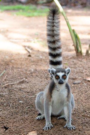 Lémur catta ou Maki (Lemur catta)