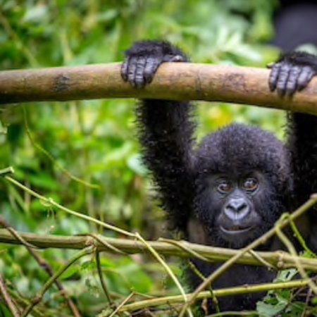 """GROWING NUMBERS OF GORILLAS  """"As of December 2018, Uganda has up to 459 mountain gorillas in 50 groups and 13 solitary individuals in Bwindi Impenetrable National Park""""  The gorilla census results, as announced by the Minister of Tourism, Wildlife and Antiquities, Ephraim Kamuntu show that the global Population of Montain Gorillas now stands at 1,063, In Ug, DRC and Rwanda. Uganda shares 51% @ Bwindi Impenetrable National Park Uganda"""