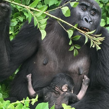 """Another new baby gorilla was born this week in  the famous gorilla Group of Bwindi Impenetrable National Park; #Rushegura family,making it 16 family members.  This year alone has given a boost to the gorilla population with a number of babies being born. #book a gorilla safari #travel with us #support conservation efforts to save these endangered Apes.    """"Exploring the mystery of African nature""""  Website: www.snoweawildlifesafaris.com Inquiries: info@snoweawildlifesafaris.com"""
