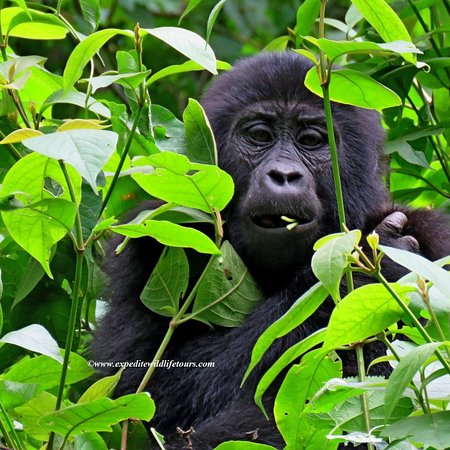 Bwindi Impenetrable National Park, Uganda: So Yesterday world mountain Gorillas Census results were released and Uganda scoring 51%. We are happy for the love and respect we have for these creatures.  Book your safari to the mountain gorillas to Uganda or Rwanda with us on  info@expeditewildlifetours.com WhatsApp: +256788649334 www.expeditewildlifetours.com  #natgeotravel #natyourshot #cnntravel #naturephotography #nationalgeographic #discoverychannel #bbctravel