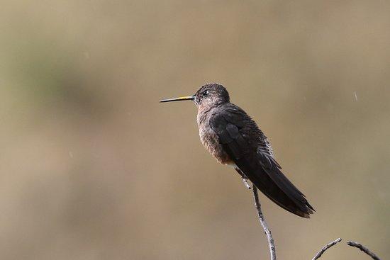 Pintag, Эквадор: オオハチドリ / Giant Hummingbird 生息域=標高2,000~3,800m 体長=18cm  世界最大のハチドリです。とは言っても、たかだか18cmの身長なので、他の鳥に比べると可愛いものです。