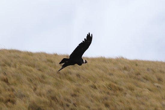 Pintag, Эквадор: アンデスコンドル / Andean Condor  標高4,000m前後のコンドル山まで遠征。 高山病予防薬(Diamox)を飲ん出るが、呼吸も脈拍も早くて