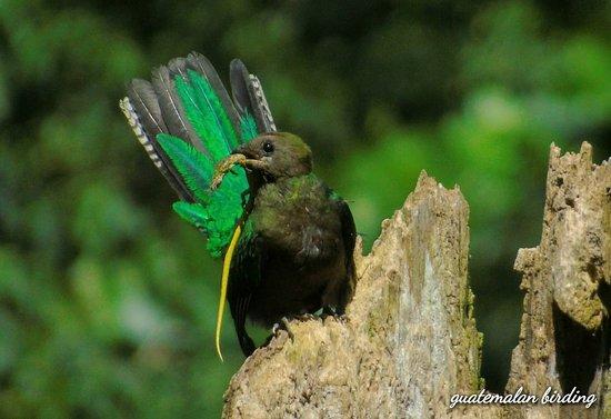 Santiago Atitlan, Guatemala: Resplendent quetzal (Pharomachrus mocinno) Birdwatching tours around Lake Atitlan