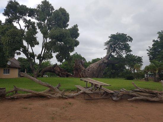 Glencoe Giant Baobab