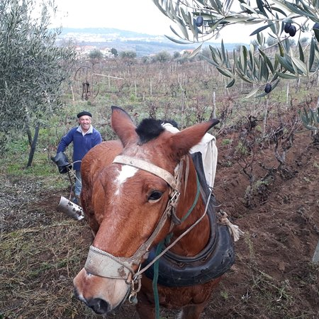 Vilarinho de Sao Romao, Portugal: Ploughing the vineyards at Douro Jorge Barefoot
