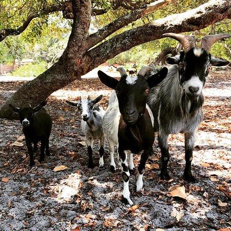 Família de mini cabra