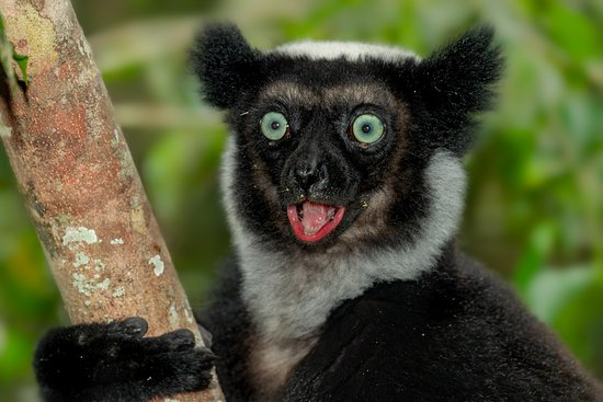 Madagascar Tripping: Indri Indri in Andasibe