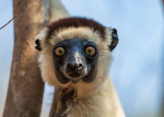 Madagascar Tripping: Sifaka in Camp Amoureux