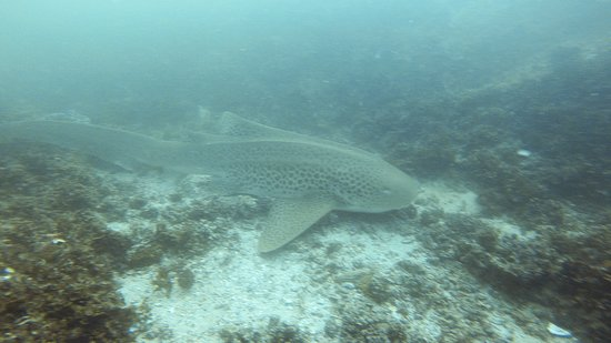 One of the sleepy Leopard Sharks at Shag Rock Diving spot about a km offshore in front of the lodge.