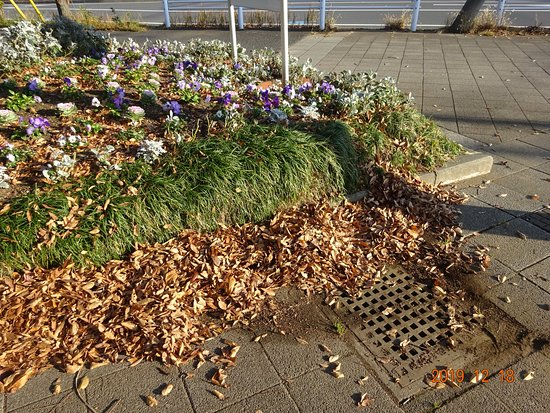 落葉の下は、排水升があります。  が、公園美化ボランテイアは、木の手入れもしません。落葉も掃除しません。自分のお友達のためには、平地に土を30センチも盛りつけ、水道水で、大量に水を撒き続け、土がダダ漏れする花壇を提供します。「花に水屋って何が悪い。排水が詰まろうが、俺は知らない」という老人が、公園美化やっています。