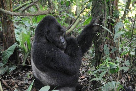3-daagse Gorilla trekking Safari ...