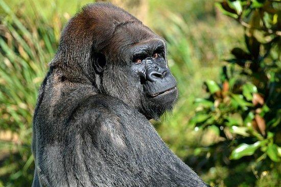 Gorilles de la réserve naturelle de...