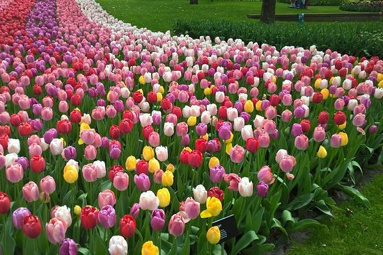 Tulpen und Windmühlen in einer sehr...