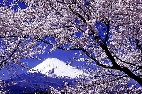 Fleurs de cerisier Yamanashi, Mt. Fuji et cueillette de fruits