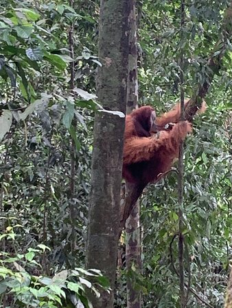 2 Day ECO Jungle Trek into the Gunung Leuser National Park: Der erste Orang Utan
