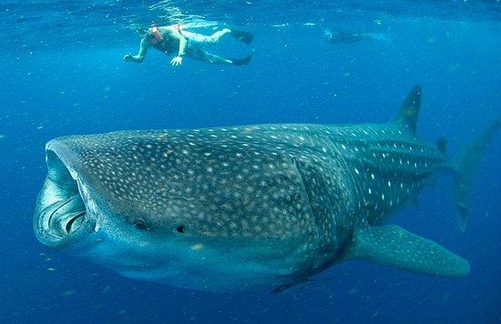 Excursão com tubarões-baleia em...