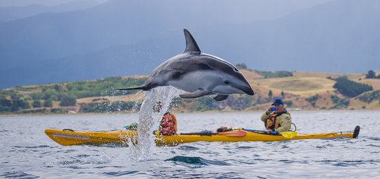 Kaikoura, New Zealand: Chance encounters with Dusky Dolphins on our 1/2 day gudied Seal Kayaking tours.