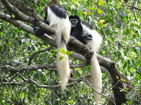 Colobus monkey is an incredible Animal because of its own color and its unique life style this you will see them main in Arusha National Park and Kilimanjaro National park because of the density forest.