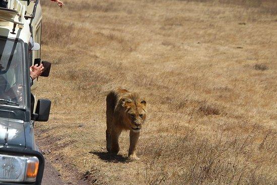 SAFARI Experience hos Ngorongoro og...