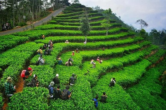 Nglinggo Tea Plantation - Admission Ticket