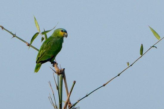 Arnos Vale, Tobago: Parrot in the bamboo grove near cabana 3.