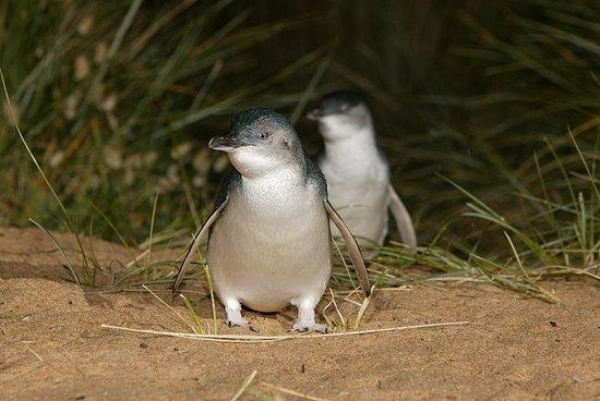Dagtrip naar Phillip Island vanuit ...