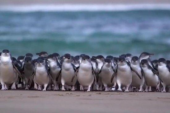 Premium Phillip Island Penguin Express ...