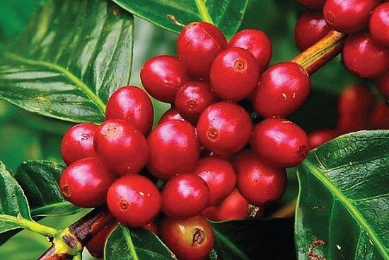 Coffee Tour : Ethiopian Coffee Tasting, Coffee Ceremony, Coffee...