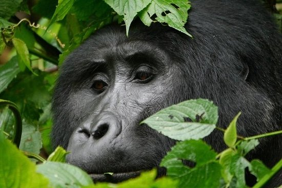 Gorilla trekking safari Bwindi