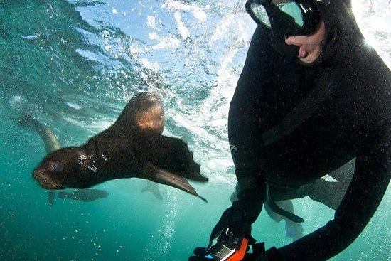 Mergulho com snorkel com focas com a...