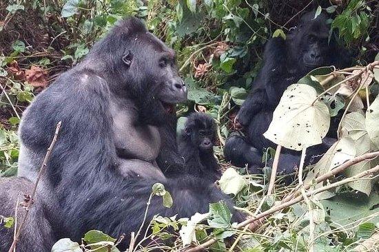 Gorila de montanha, trekking...