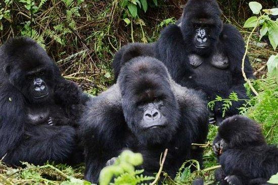 Gorilla Tracking 3 giorni ed