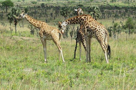 Safari de 6 jours en Ouganda à...