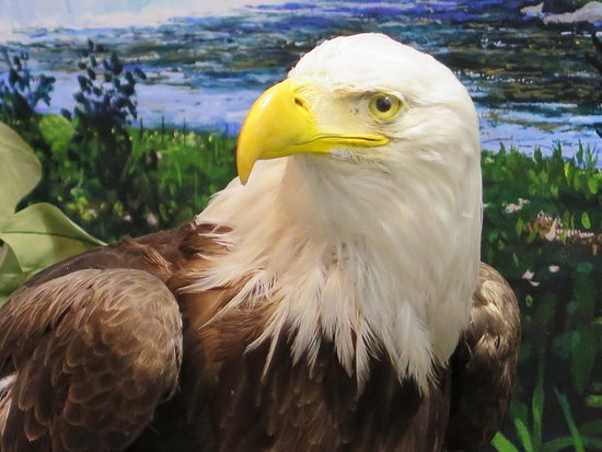 Turners Falls, MA: Connecticut River Watershed habitat dioramas depict the natural history of the river, including our bald eagle!