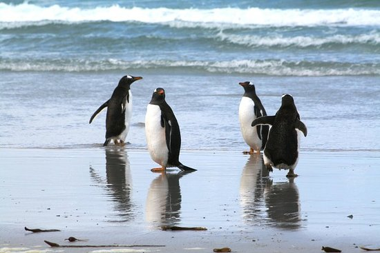 Gentoo Penguins al tour guidato di Berthas Beach da Stanley