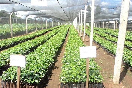 3-dagers lokal te- og kaffebedriftserfaring i Kenya