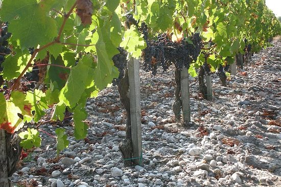 A Tour of the Vines of Château Paloumey in the Medoc Including a Wine...