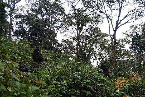 2 jours Bwindi Gorilla Safari