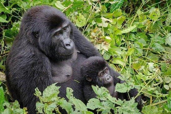 3 jours de randonnée gorille dans le...