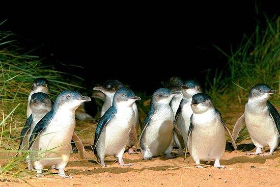 菲利普岛企鹅私人之旅