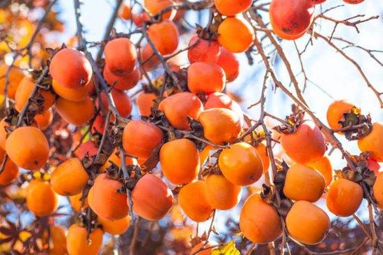 Perast, Montenegro: montenegrin persimmon