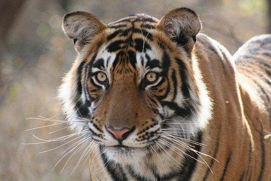 5-tägige Ranthambhore Tiger Safari...