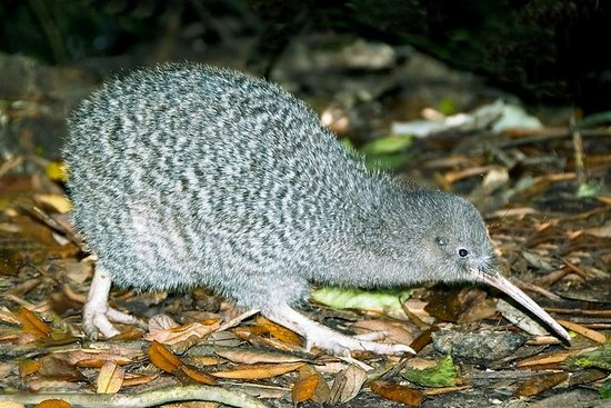 Overnight Kiwi Spotting Tour on Kapiti Island