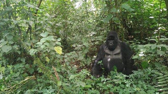 Caminhada de gorila de montanha e...