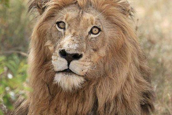 Expedição ao Leão Kruger com o...