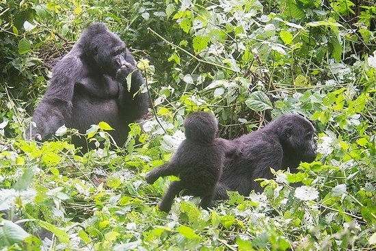 5 Days Gorilla Tracking Photographic...